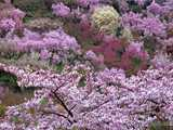 春謳う花見山公園