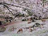 奈良公園の鹿と桜