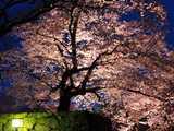 幻想の彦根城夜桜