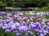小泉潟公園・満開の花菖蒲