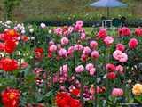 ダリア園花盛り