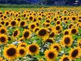 旬の向日葵畑