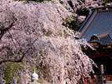 麗桜の身延山久遠寺