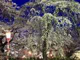 水沢公園の夜桜きらびやか