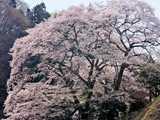 新殿神社の岩桜輝く