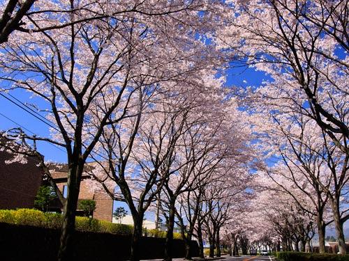 09sakura utunomiya1m