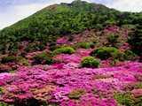 仁田峠を覆うミヤマキリシマ