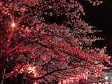 船岡城址公園の夜桜