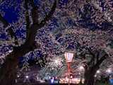 真人公園の華麗な夜桜