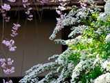 雪柳に枝垂れ桜