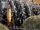 好文亭咲き初めの枝垂れ梅