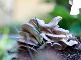 庭に生えたヒラタケ