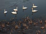 風わたる公園の白鳥の群れ