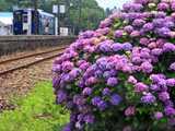 紫陽花咲く合川駅