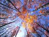 天を突く秋のブナ林