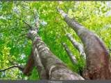 若葉萌える巨樹・燭台