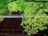 門前に新緑のモミジ