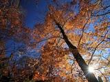 陽光射す秋色のブナ