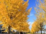 秋謳う銀杏並木