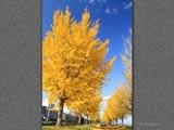 黄彩の銀杏並木