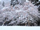 雪にまみれる柿の木