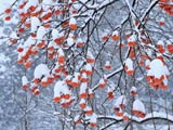 雪降る日の柿