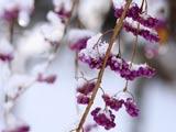冬のムラサキシキブ