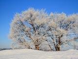 木立に霧氷の華