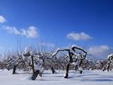 冬晴れのリンゴ園