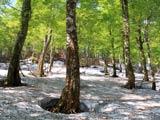 残雪の八幡平大場谷地ブナ林
