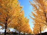 黄金の銀杏並木