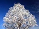 晴天の霧氷樹
