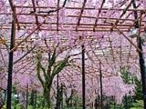 平安神宮・桜の棚