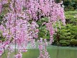 平安神宮・池に桜