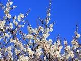 多聞山・碧空の白梅