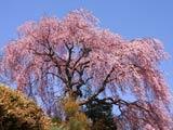 口太山トンネル近くの桜