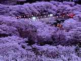 船岡城址公園・夜の桜