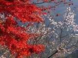 城峯公園冬桜と紅葉コラボ