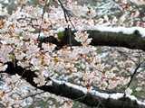 臥竜公園雪の日の桜