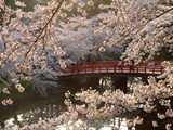 弘前公園北の郭付近の桜