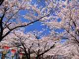 桜の日和山公園