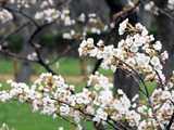 松前公園千島桜