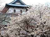 松前公園冬桜
