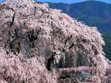 勝間薬師堂の桜と高遠城址公園遠望