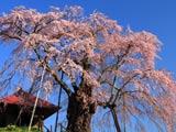 朝光注ぐ上石の不動桜