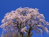 三春の無名桜