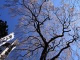 三春の龍光寺桜
