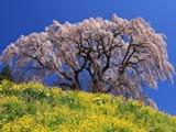 芹ヶ沢桜と菜の花