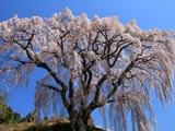 三春・芹ヶ沢桜