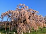 三春の滝桜早朝の姿
